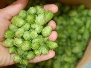 hops_harvest_dry
