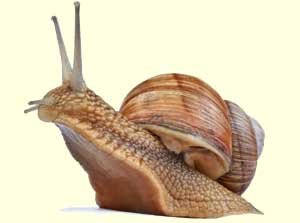 top snail facts
